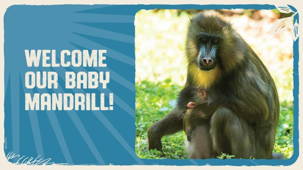 Baby-Mandrill-Born-at-Disneys-Animal-Kingdom